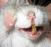 ジャンガリアンの歯