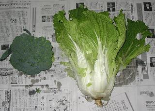 でっかいブロッコリと白菜